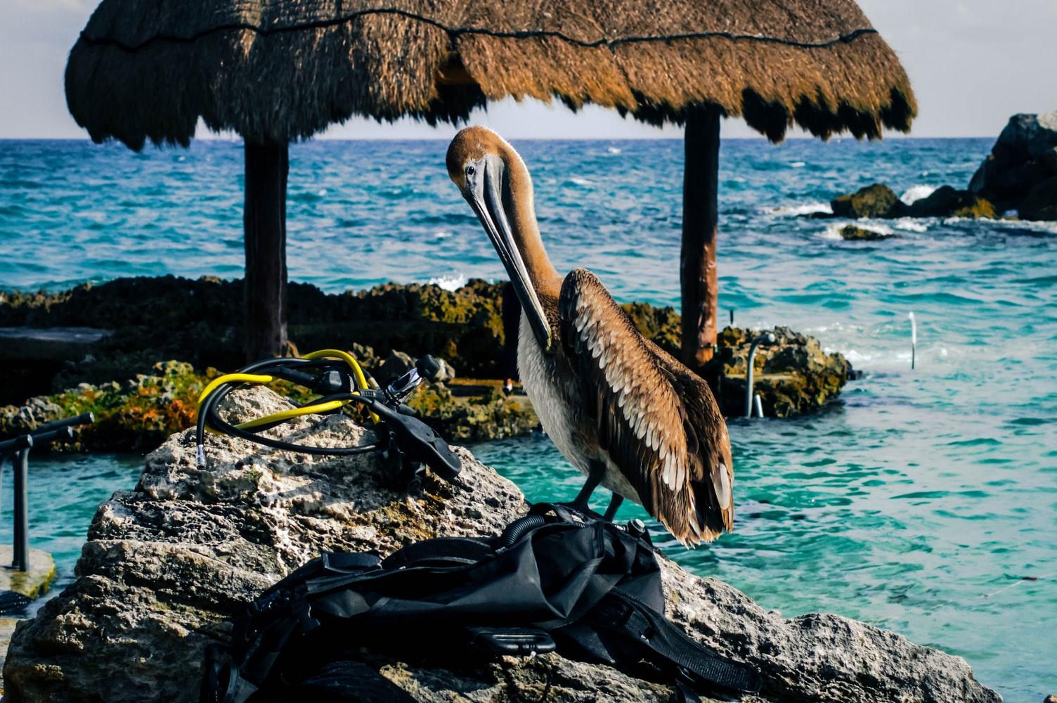 pelicano-mirando-equipo-buceo